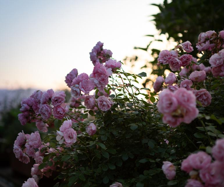 website-moosbrugger-rosen